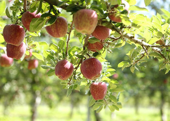 Photo: Batlow Apples