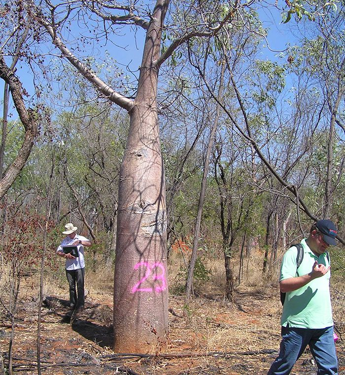 Tagging Boabs for relocation for the prison development. Image: Michael White.